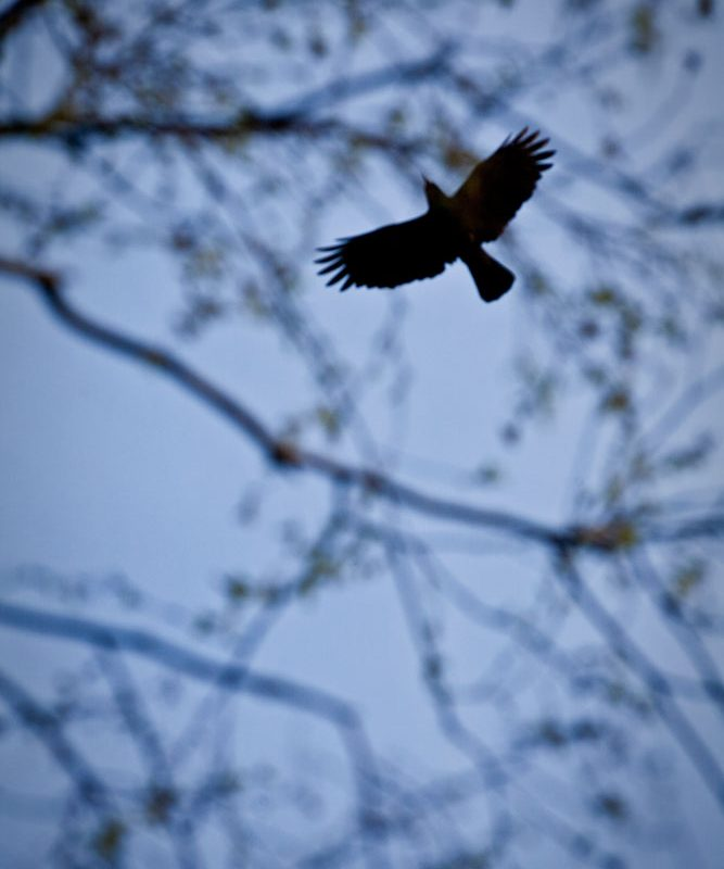 Sky Rook : Graveyard : Warwickshire UK