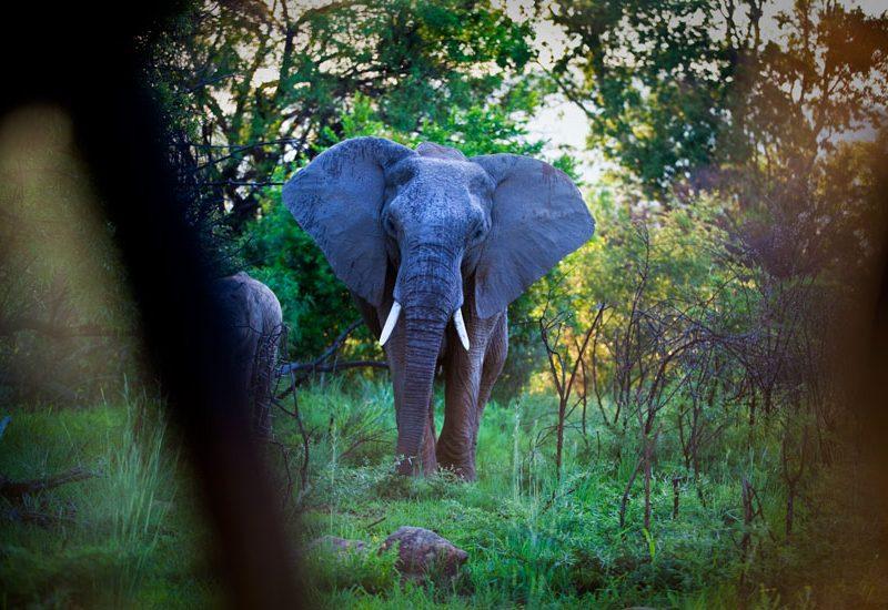 Awesome Elephants : Pilanesburg : South Africa