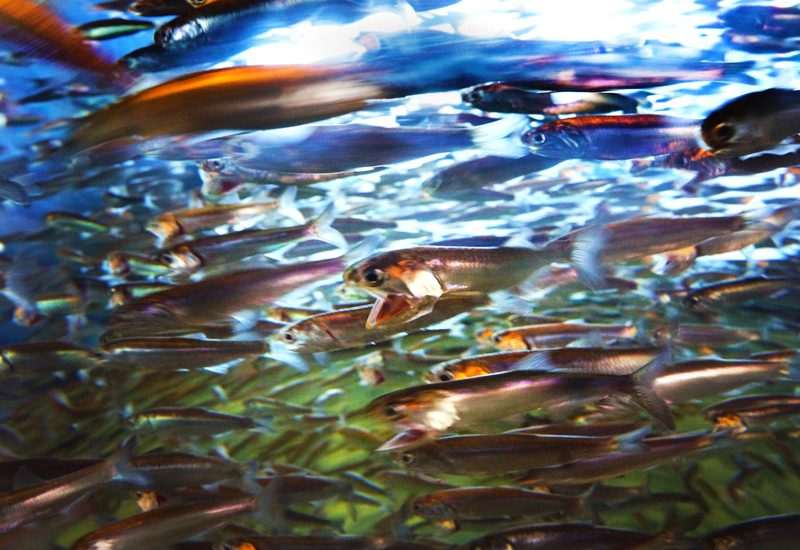 The Sardines of Cannery Row : Monterey : California