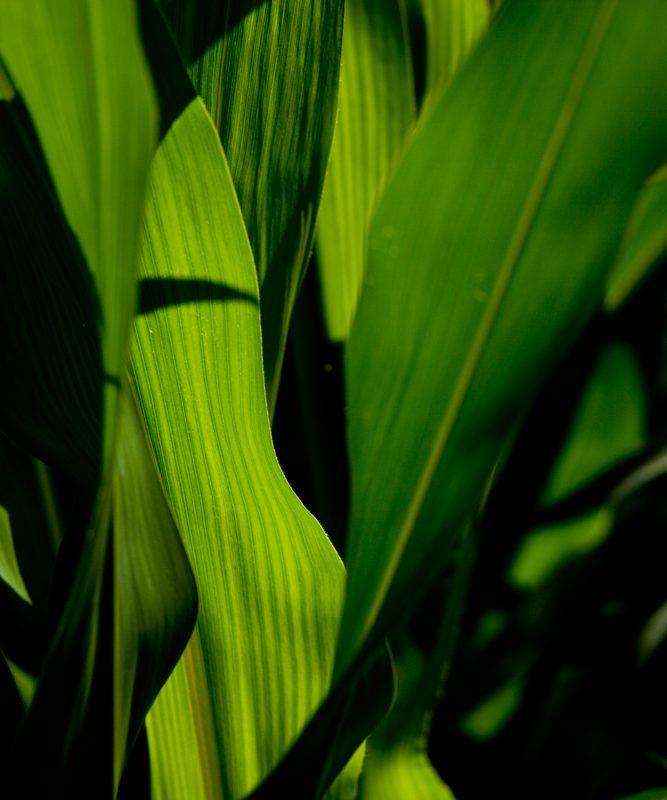 Green on Green : I-80 Farm Colfax : Iowa