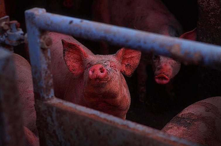 Swine fever on Jezblog : Pig Farm : Wales UK